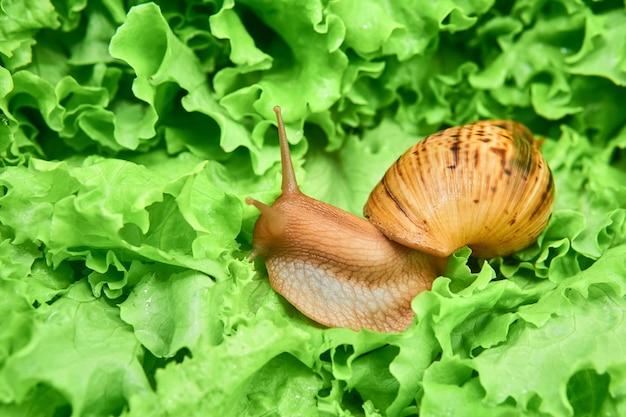 상추의 녹색 잎 사이에 큰 살아있는 달팽이