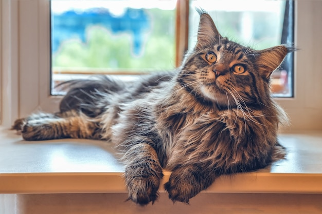 A large maine coon cat lies on the windowsill