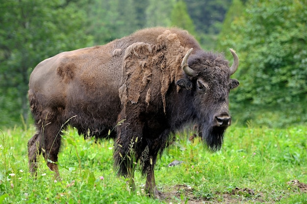 Grande maschio di bisonte nella foresta