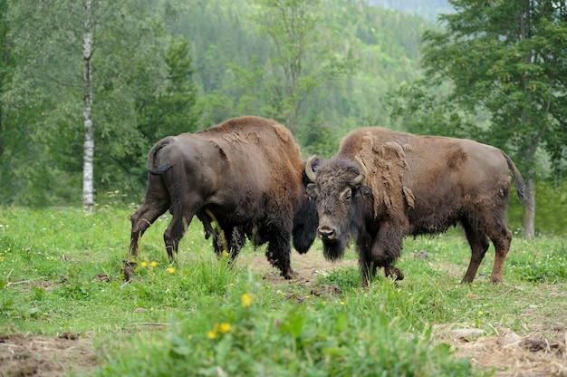 Large male of bison in the forest