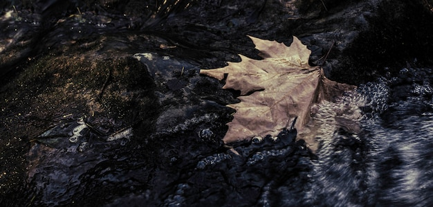 Large maple leaf fallen on the rock in the water in motion of the brook