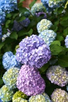 수국 부시 근접 촬영에 큰 여러 가지 빛깔의 꽃