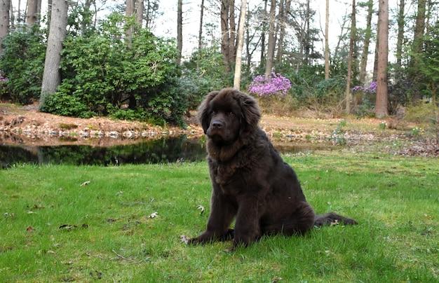 연못 옆에 앉아 있는 큰 뉴펀들랜드 강아지