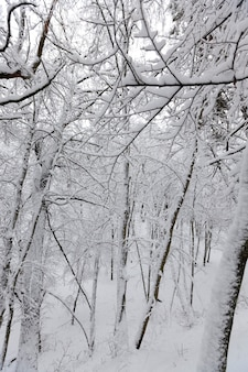 Large number of bare deciduous trees in the winter season, the trees are covered with snow after frosts and snowfalls, snowdrifts in the park or winter forest, there will be footprints in the snow