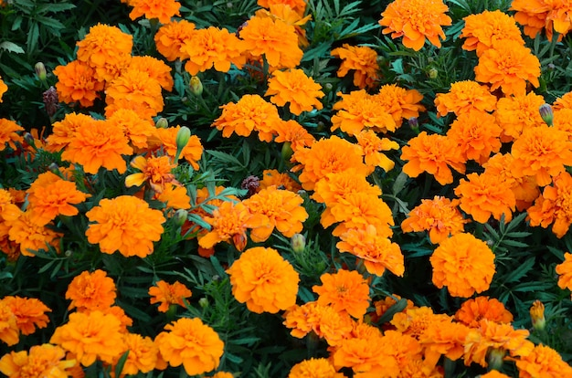 A large number of beautiful bloomed yellow marigolds in an open air flowerbed