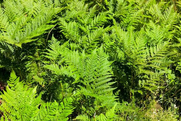 森の中で育つ若い緑のシダがたくさん