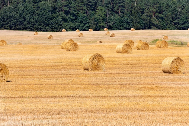 A large number of straw stacks on sloping wheat. agricultural field in a sunny summer day. the forest grows in the background