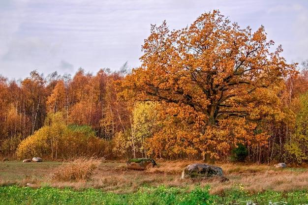 Большой дуб с желтой листвой на фоне осеннего леса