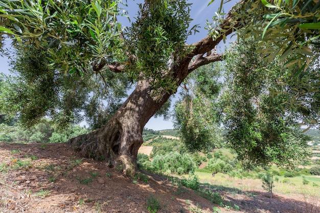 Большое старое оливковое дерево с толстым изогнутым стволом и широкими ветвями на вершине холма в солнечный день