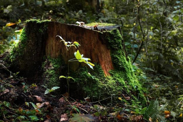 Большой старый пень, покрытый мхом и зеленью.