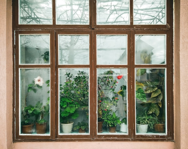 Large old window with wood frames and house plants with flowers.