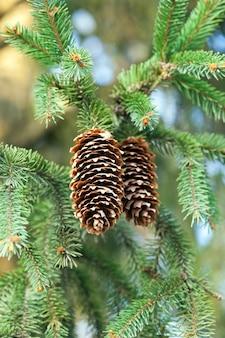 Большие открытые шишки ели в ветвях с зелеными иглами крупным планом