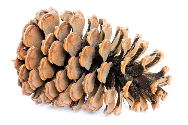Large opening cedar cones isolated on white background