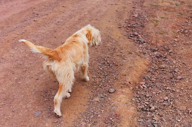 Большая оранжевая собака идет по песчаной дорожке. прогуляйтесь с домашним животным. щенок на природе. собака-поводырь.