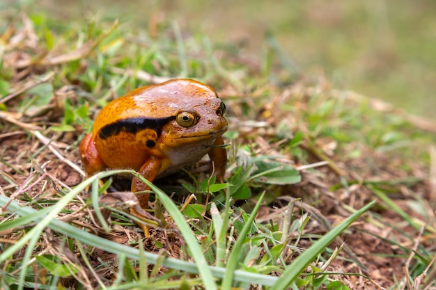 Large orange frog is sitting in the grass