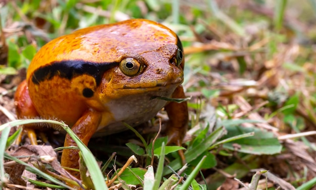 Large orange frog sitting in the grass