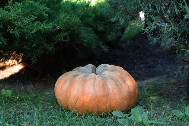 庭の緑の芝生に大きなオレンジ色のカボチャ