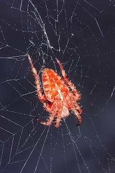 A large orange spider araneus on the web