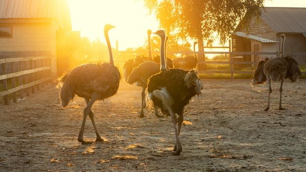 Большие страусы, освещенные солнцем на страусиной ферме