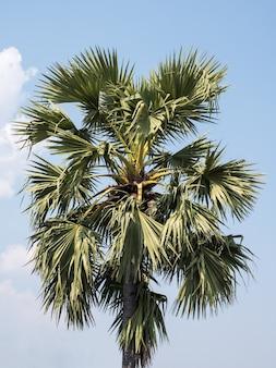 Large palmyra plam