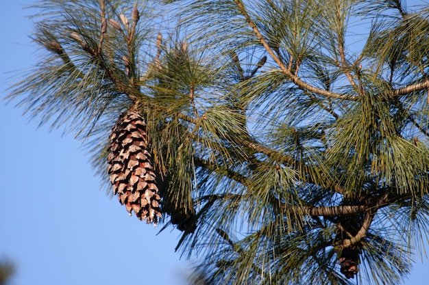 겨울에 전나무에 큰 소나무 콘