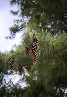 Большие сосновые шишки, висящие на ветке дерева.