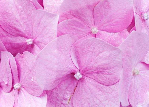 大きなピンクのアジサイの花(自然の背景)。かなりのシャープネスのある合成マクロ写真。