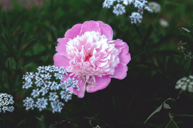 짙은 녹색 잎의 배경에 흰색 아니스가 있는 큰 분홍색 무성한 모란 꽃.