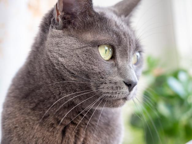 目をそらしている灰色の猫の大きな肖像画。明るい黄色の目。ペット