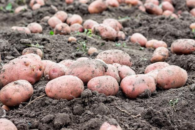 地面に大きなジャガイモ塊茎。閉じる。良いジャガイモの収穫_