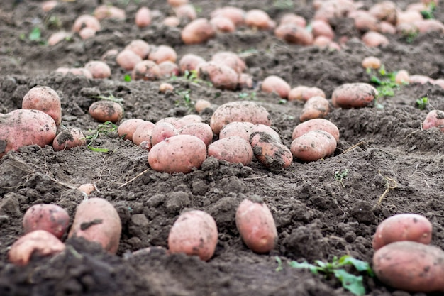 地面に大きなジャガイモ塊茎。ジャガイモの収穫 Premium写真