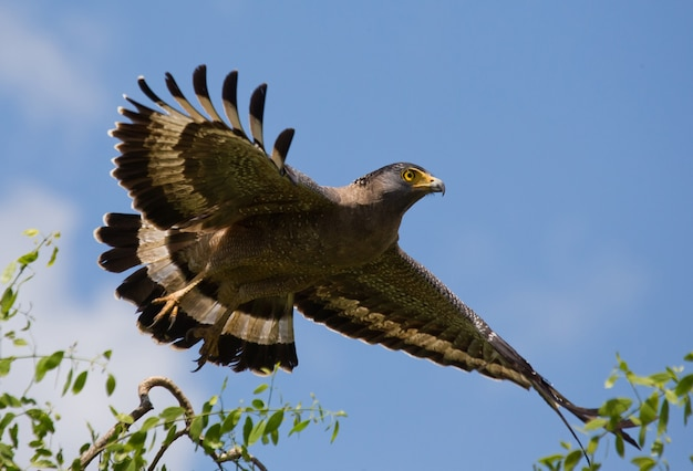 Large predatory bird flying in nature