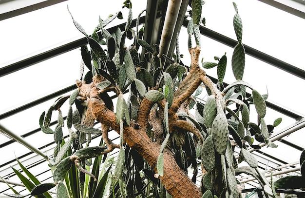 大きなとげのあるサボテン、温室で育つ古い木