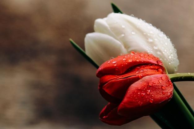 Крупные красные и белые тюльпаны в каплях воды коричневого пергамента. фото для открытки