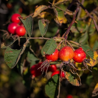 Large red juicy vitamin rose hips on a bush with thorns