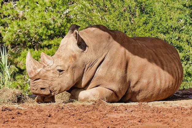 Grande rinoceronte che riposa al sole