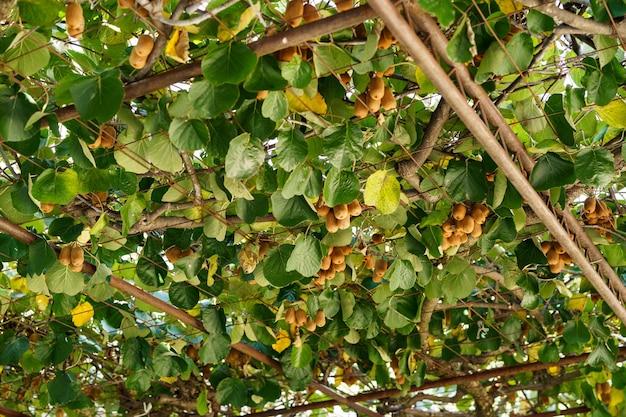 큰 익은 갈색 키위 과일은 전망대의 지붕에 나무에 매달려