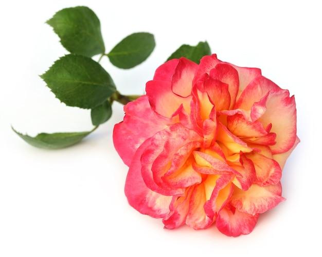 白い背景の上の大きなバラ