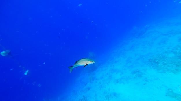 큰 바다 물고기는 푸른 바다를 배경으로 산호 사이의 해저에서 헤엄칩니다.