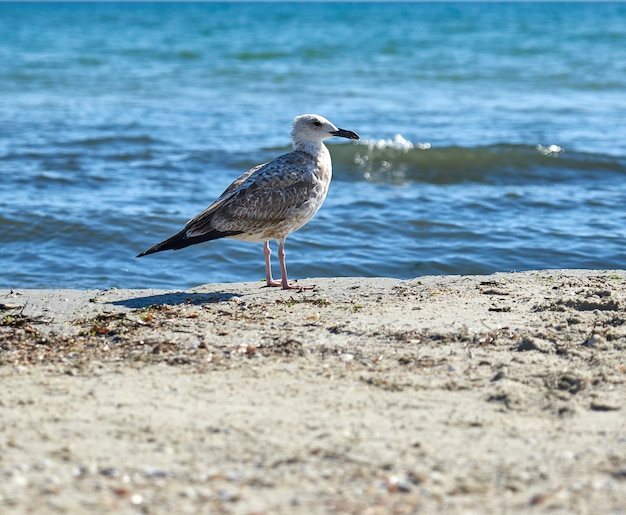 Large seagull on the sandy shore of the black sea