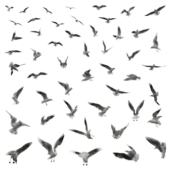 A large set of 55 gulls in various poses isolated on a white background