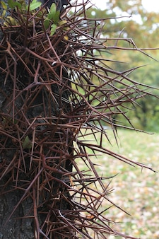 Large sharp branched thorns on trunk of the honey locusts tree.