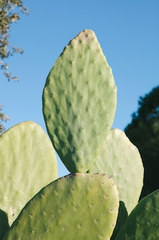 Large sheets of a type of cactus