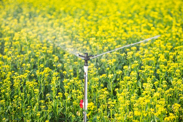 A large side of rapeseed is being watered