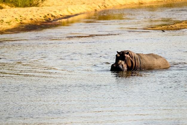 Большой бегемотик-одиночка плавает в реке