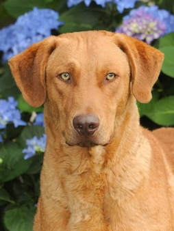 A large-sized chesapeake bay retriever dog in a garden with blooming hydrangeas flowers