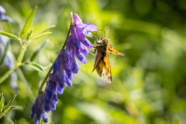 여름 햇살에 꽃을 먹고 있는 대형 스키퍼 나비(ochlodes venatus)
