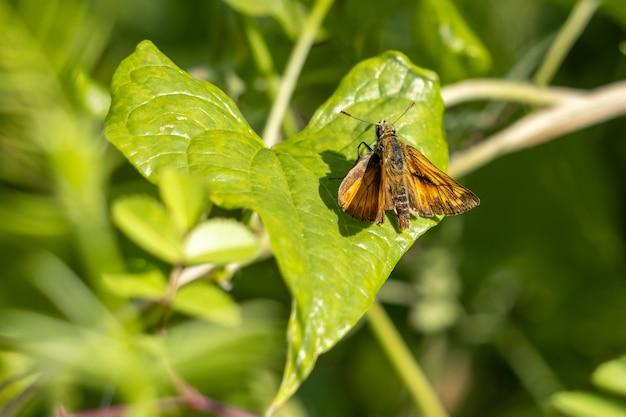 여름 햇살에 나뭇잎에 쉬고 있는 대형 선장 나비(ochlodes venatus)