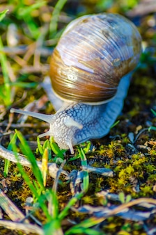 A large snail slowly crawls along the grass