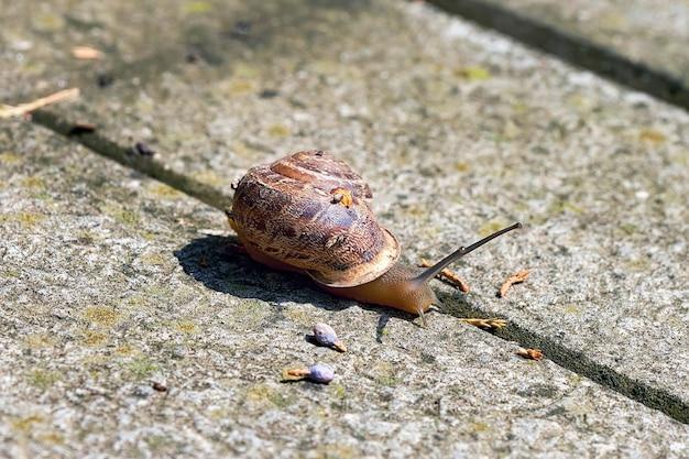 石の床を這う貝殻のある大きなカタツムリ